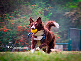 Fotografia de Border Collie - Annita