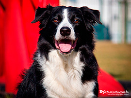 Fotografia de Border Collie - Indy