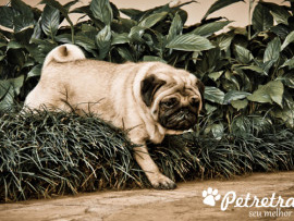 FOTOGRAFIA DE PUG - BOOK PET RETRATO