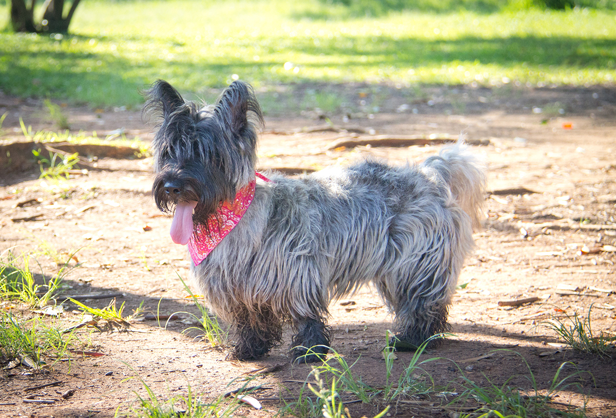 Foto de Scottish Terrier Filhote