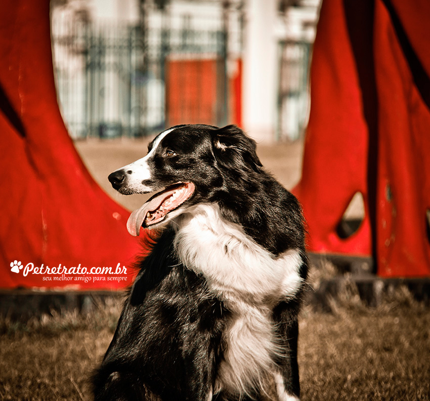 Fotografia de Border Collie - Pet Retrato