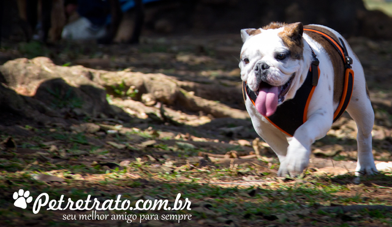 Bulldog fotos