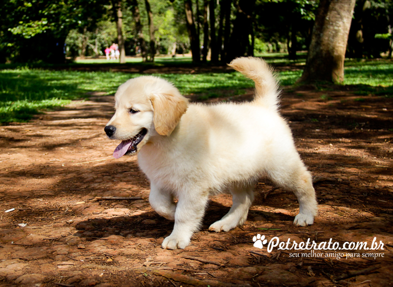 Book Golden Retriever