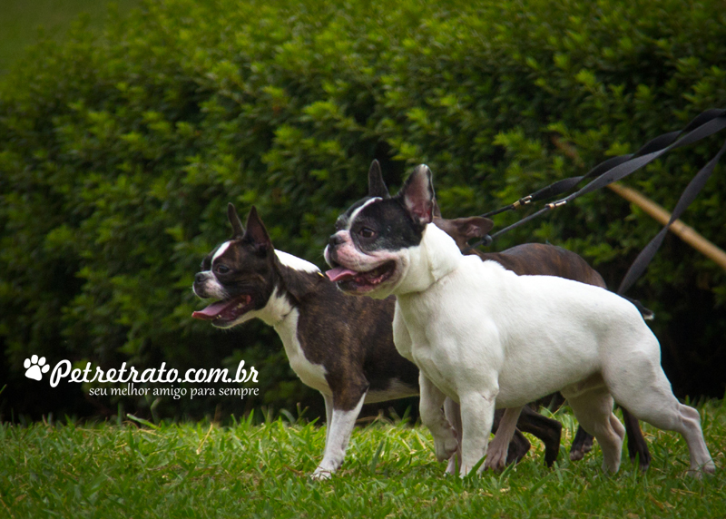 Boston Terriers e Bulldog Francês