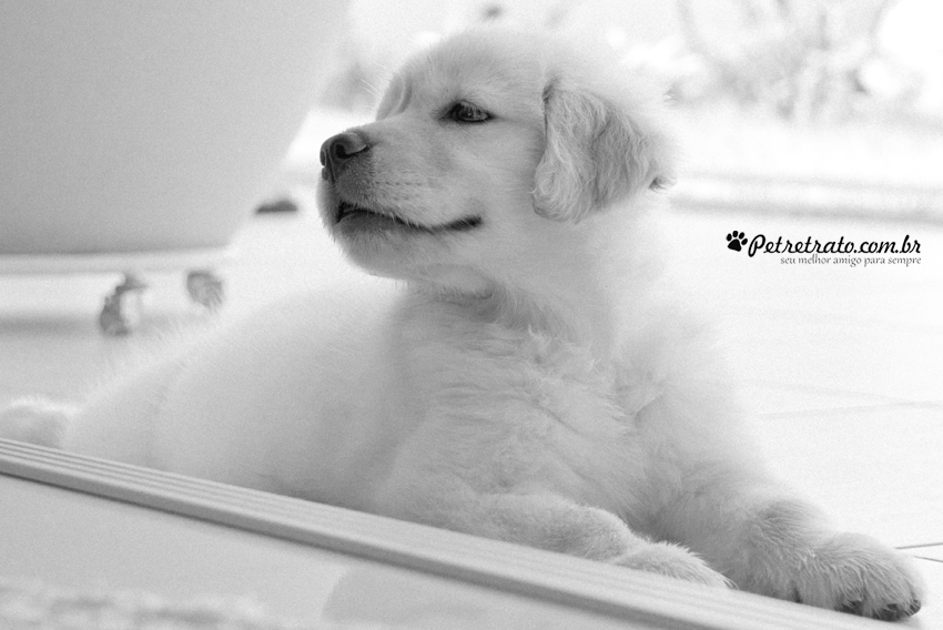 Suri, Golden Retriever de 2 meses