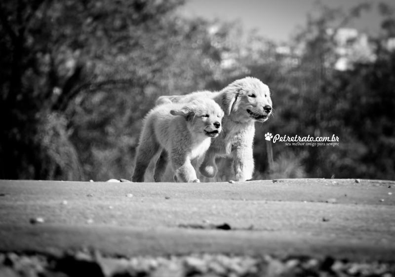 Fotografia de Golden Retriever