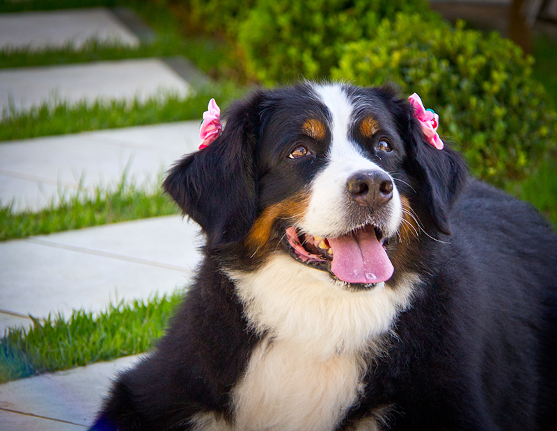 Fotografia Bernese - Pet Retrato